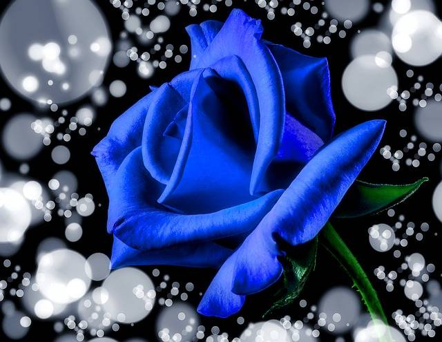 Blue Rose Bloom - Free photo on Pixabay (179496)