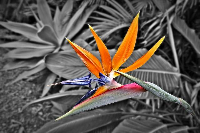 Bird Of Paradise Strelitzia - Free photo on Pixabay (179509)