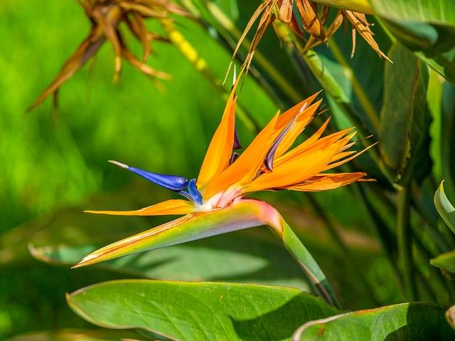 Bird Of Paradise Flower Tropical - Free photo on Pixabay (179514)
