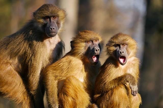 Animals Ape Berber Monkeys Three - Free photo on Pixabay (179661)