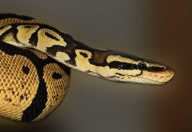 Snake Python Ball - Free photo on Pixabay (180122)