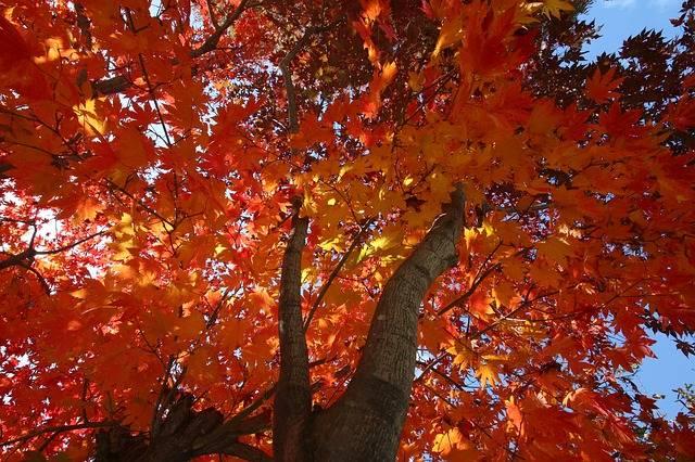 Autumn Leaves Maple The - Free photo on Pixabay (180183)