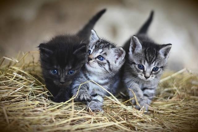 Cat Young Animal Kitten - Free photo on Pixabay (181067)