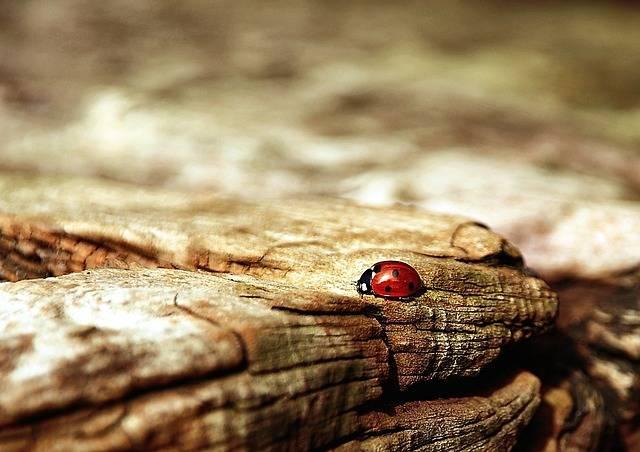 Ladybug Brown Nature - Free photo on Pixabay (181105)