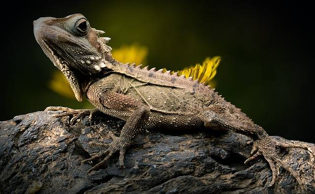 Lizard Reptile Forest Dragon - Free photo on Pixabay (181190)