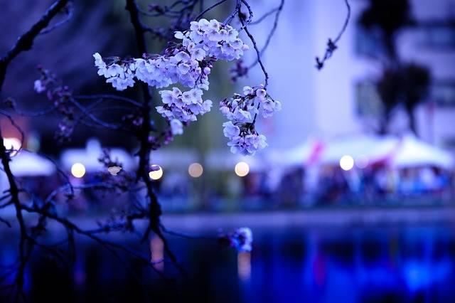 Cherry Blossoms Sakura Japan - Free photo on Pixabay (181279)