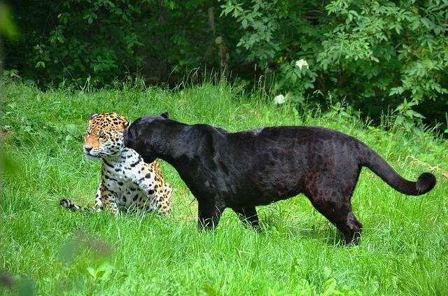 Panter Leopard Black - Free photo on Pixabay (181881)