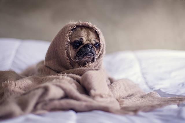 Pug Dog Blanket - Free photo on Pixabay (182103)