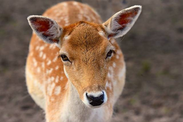 Fallow Deer Animal Mammal - Free photo on Pixabay (182258)