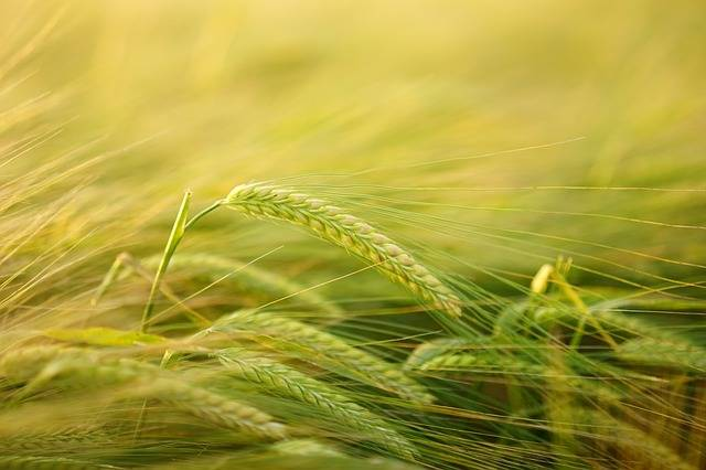Barley Getreideanbau - Free photo on Pixabay (182259)