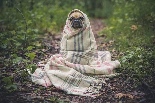 Pug Dog Pet - Free photo on Pixabay (182856)