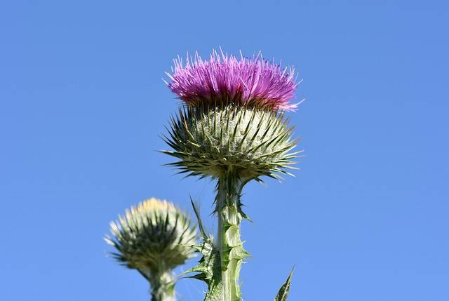 Thistle Donkey Ordinary - Free photo on Pixabay (184141)