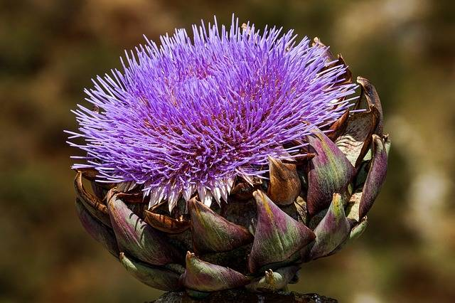 Artichoke Bloom Blossom - Free photo on Pixabay (184151)