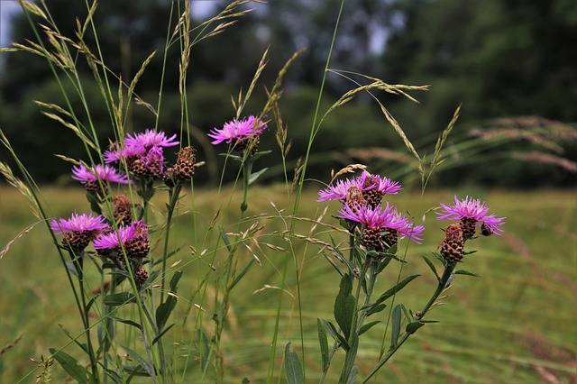 Grass Thistles Meadow - Free photo on Pixabay (184154)