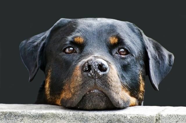 Dog Face Animal - Free photo on Pixabay (184463)