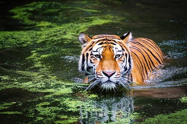 Tiger Big Cat Cats Animal - Free photo on Pixabay (184780)