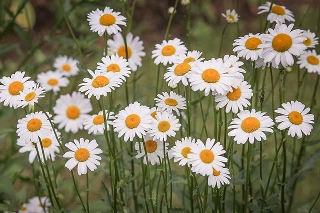 Daisies Flower Meadow White Wild - Free photo on Pixabay (185837)