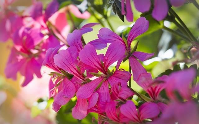 Geranium Bright Pink Close - Free photo on Pixabay (186545)