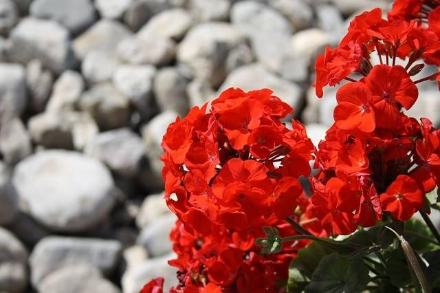 Red Flower Stones - Free photo on Pixabay (187343)