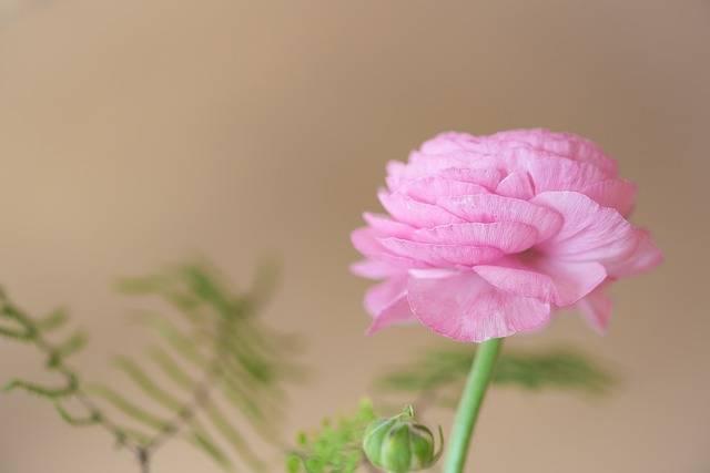 Ranunculus Blossom Bloom - Free photo on Pixabay (187856)