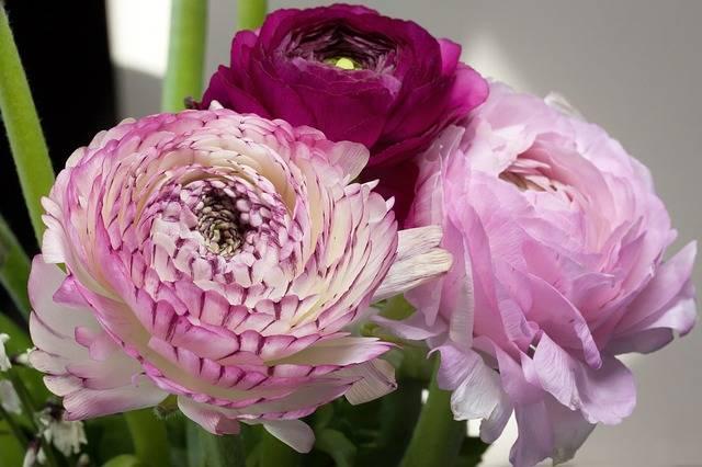 Ranunculus Blossom Bloom - Free photo on Pixabay (187857)