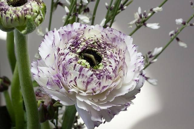 Ranunculus Blossom Bloom - Free photo on Pixabay (187861)