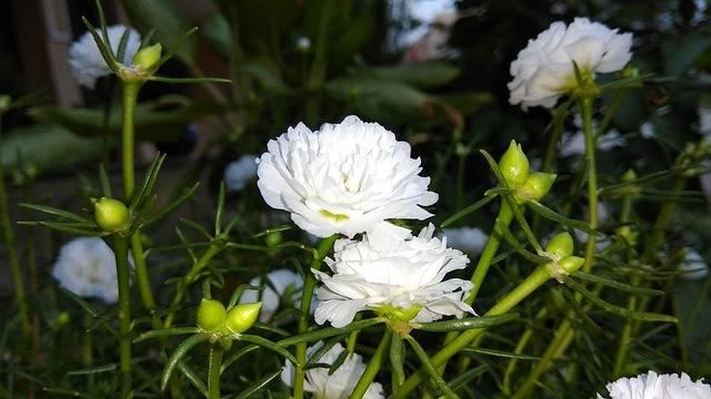 White Flower With Kalee - Free photo on Pixabay (188242)