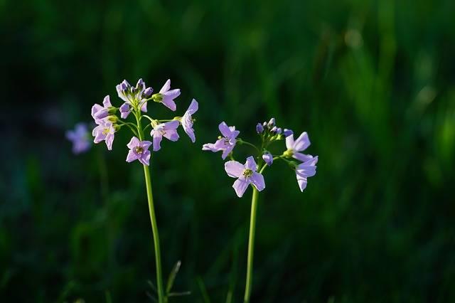 Smock Flowers Light Purple - Free photo on Pixabay (188307)
