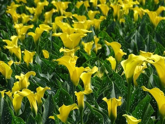 Calla Field Yellow - Free photo on Pixabay (188309)