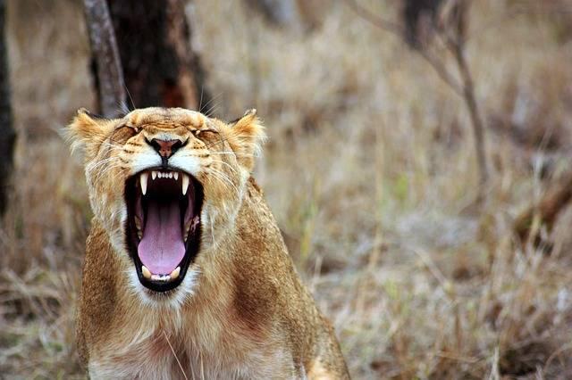 Lion Animal Savannah - Free photo on Pixabay (192435)