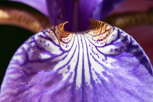Iris Pseudacorus Purple - Free photo on Pixabay (193328)