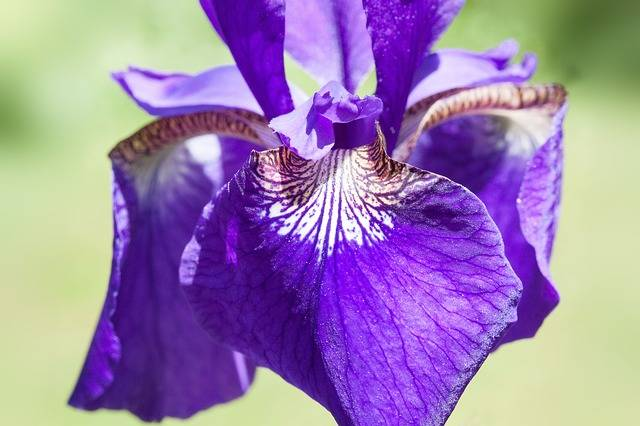 Iris Pseudacorus Purple - Free photo on Pixabay (193330)