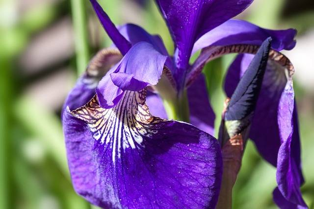 Iris Pseudacorus Purple - Free photo on Pixabay (193439)