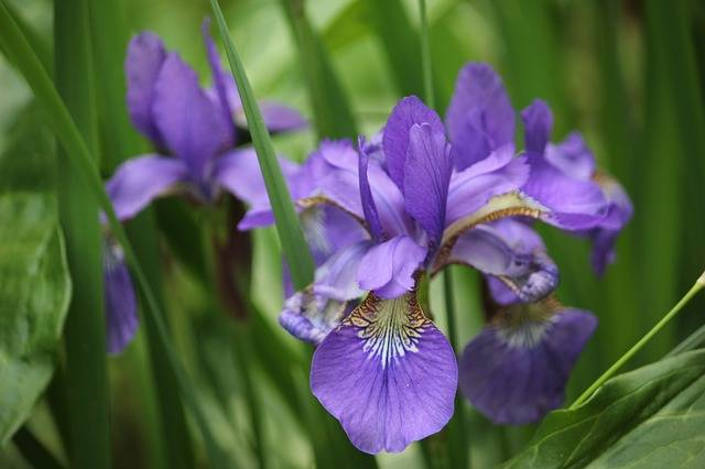 Iris Flower Purple - Free photo on Pixabay (193987)