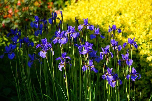 Iris Spring Flowers May In The - Free photo on Pixabay (195934)
