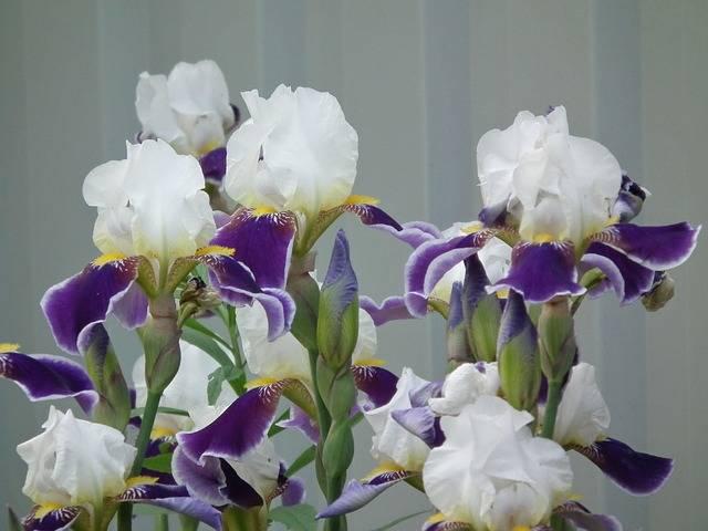 Flowers Iris Flower - Free photo on Pixabay (195961)