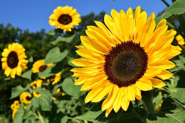 Sunflower Field Yellow - Free photo on Pixabay (198104)