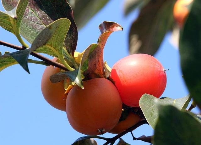 Persimmon Fruit Autumn - Free photo on Pixabay (198399)