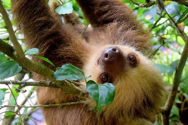 Sloth Costa Rica Puerto Viejo - Free photo on Pixabay (199307)