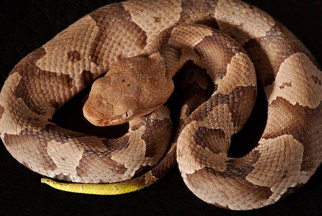 Southern Copperhead Viper - Free photo on Pixabay (199312)