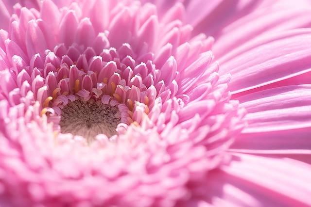 Marguerite Flower Pink - Free photo on Pixabay (200506)
