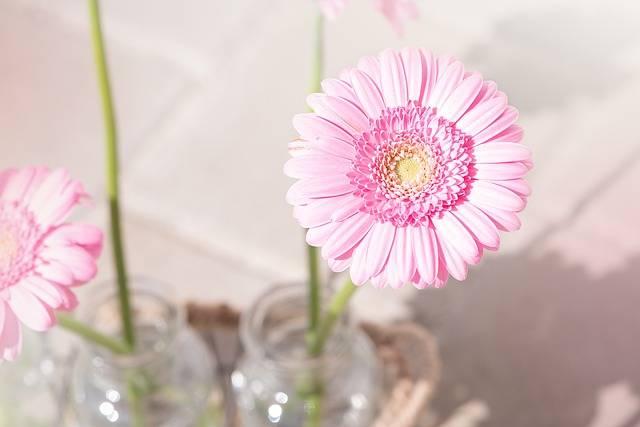 Marguerite Pink Daisy - Free photo on Pixabay (200514)