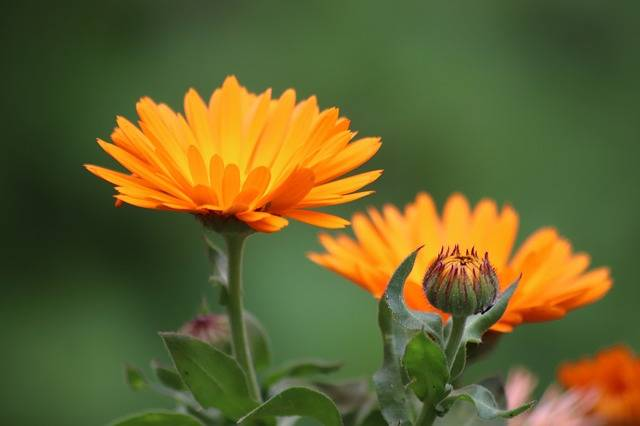 Worries Marigold Flowers - Free photo on Pixabay (201384)