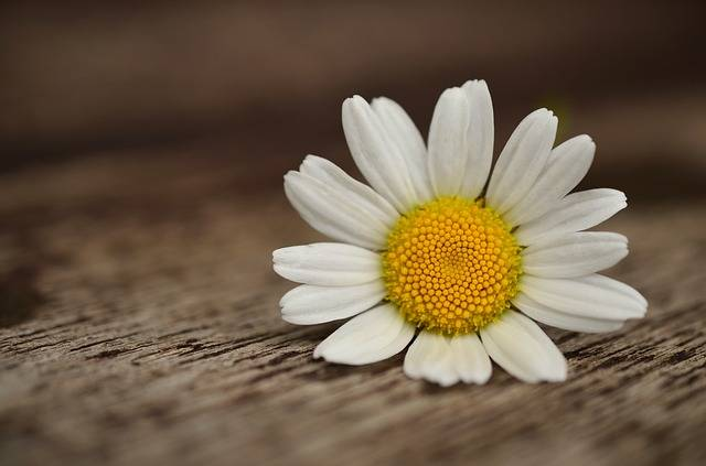 Marguerite Blossom Bloom - Free photo on Pixabay (201896)