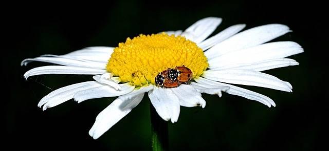 Ladybug Marguerite Beetle - Free photo on Pixabay (202037)