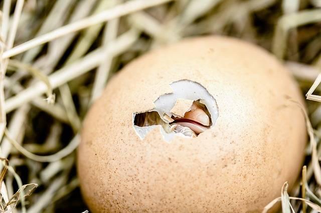 Hatching Chicks Egg Shell Break - Free photo on Pixabay (204830)