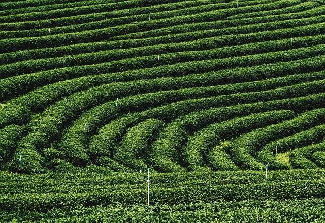 Tea Plantations Sightseeing - Free photo on Pixabay (211159)