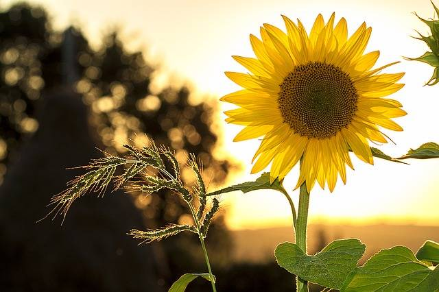 Sunflower Summer Yellow - Free photo on Pixabay (213716)