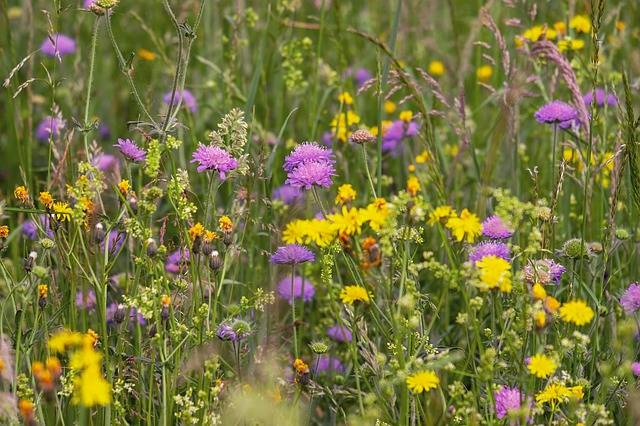 Wild Flower Meadow Flowers Arable - Free photo on Pixabay (217118)