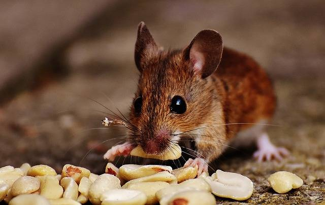 Mouse Rodent Cute - Free photo on Pixabay (226202)